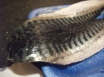 1 Mackerel Skin