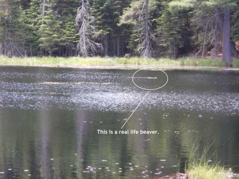 Beaver Far