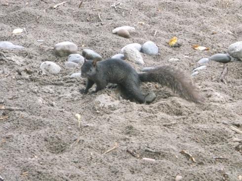 Beach Squirrel 1