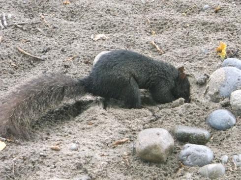 Beach Squirrel 4